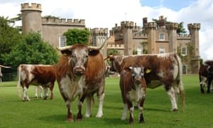 Longhorn cattle at Knepp in West Sussex. Photograph: Picasa/PR