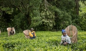 Fairtrade tea producers in Malawi. Photograph: Chris Terry/Fairtrade
