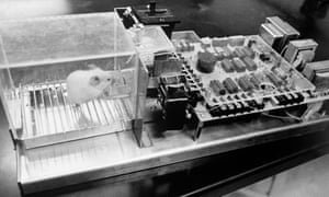 A laboratory rat inside a 'Skinner box'. Photograph: Alamy