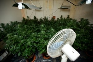 A cannabis farm discovered in a house in Oldham in 2013. Photograph: Christopher Thomond/The Guardian