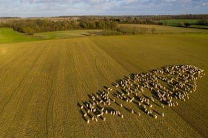 Sheep graze at Weston Park Farms in Hertfordshire. Photograph: David Levene/The Guardian