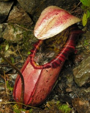 A rodent trapped inside a pitcher plant in the Philippines. Photograph: Redfern Natural History/PA