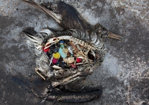 A black-footed albatross chick with plastic debris in its guts, found in the Midway Atoll. Photograph: Dan Clark/USFWS