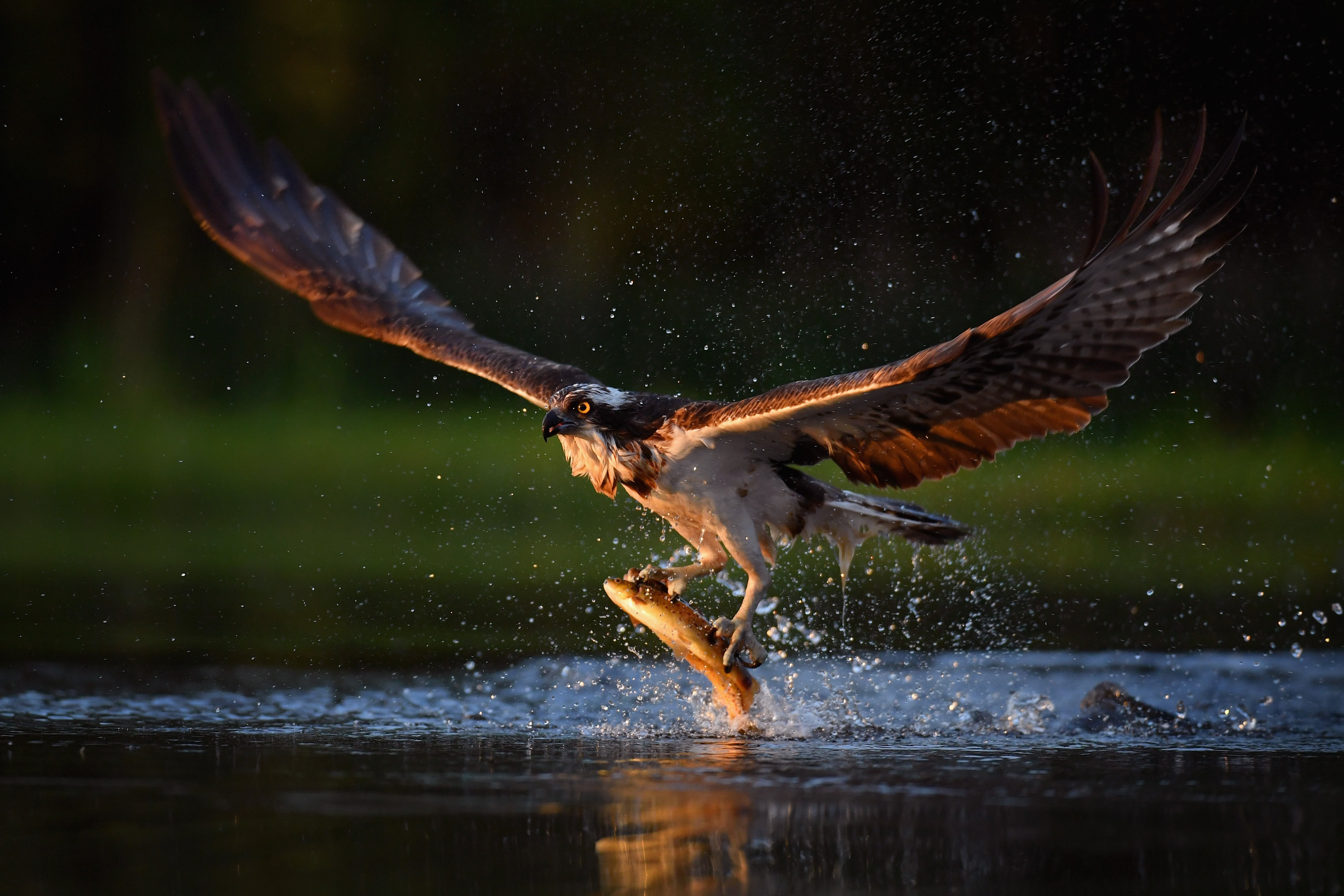 An osprey can zero in on an unassuming trout, even amid distracting sensory information such as the motion of the river's current. This ability is due in part to automatic filtering mechanisms hard-wired in the brain. Photo by Jeff J Mitchell / Staff / Getty Images.