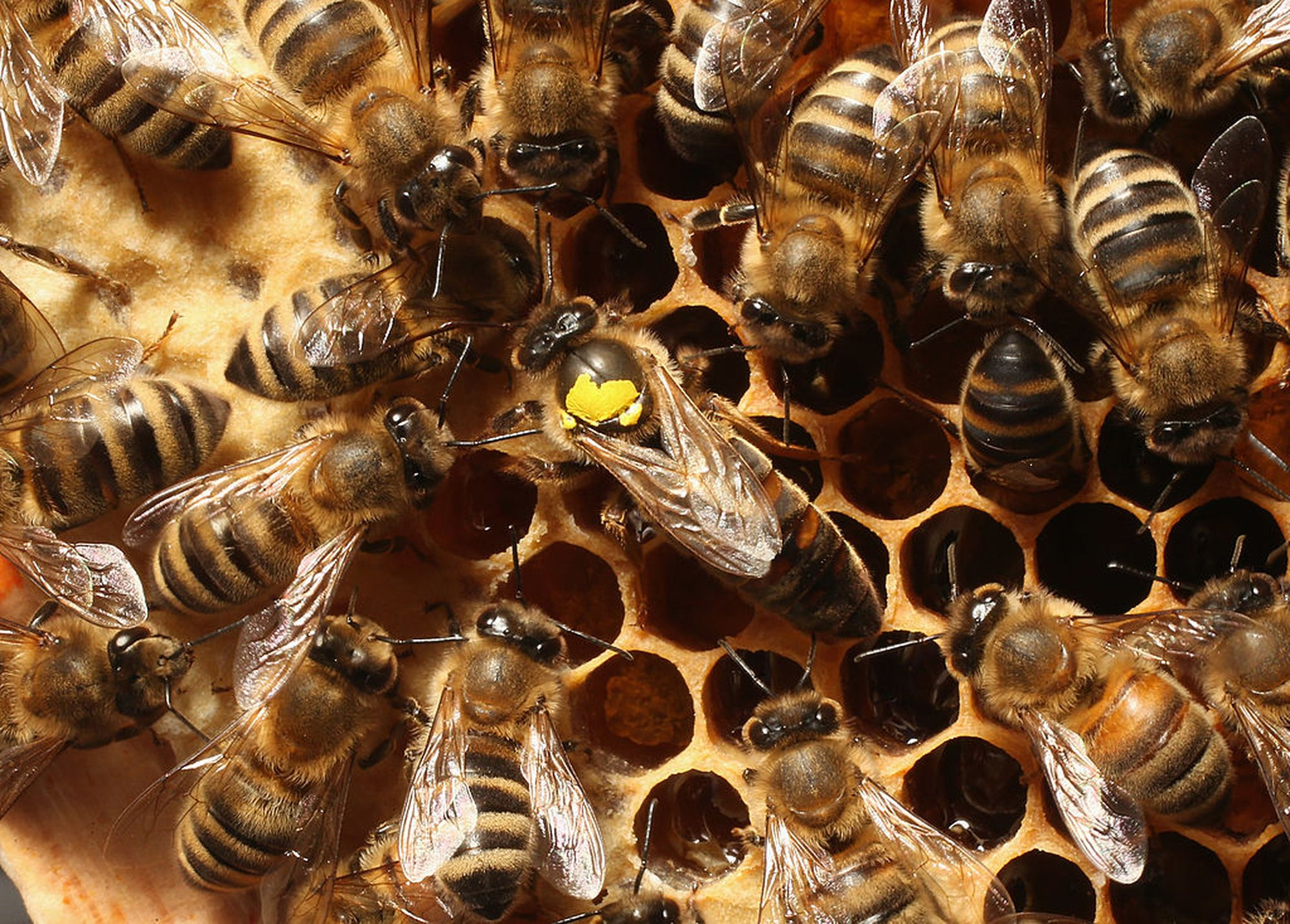 Invasion of the 'Frankenbees': The Danger of Building a Better Bee - The Guardian - Pocket