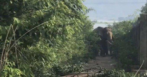 Voi nhà đang vào mùa động dục quật chết nài voi