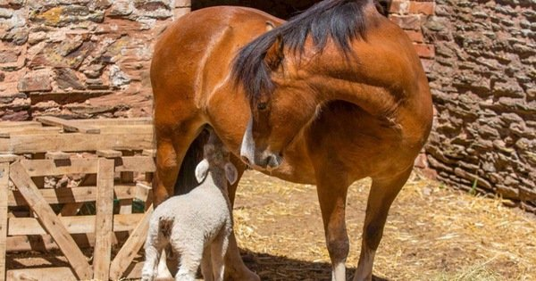 Ngựa nuôi 3 con cừu mồ côi
