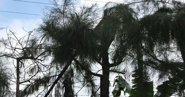 Học sinh lớp 9 bị điện giật chết khi cắt tỉa cây ở trường