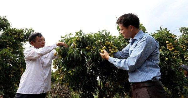 Chuyên gia Nhật chuẩn bị sang Việt Nam giám sát xuất khẩu vải thiều