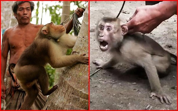 Xót xa chú khỉ con bị bắt cóc khỏi mẹ, hằng ngày phải hái 1.000 trái dừa theo ý chủ