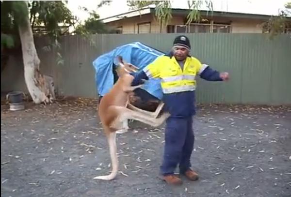 """Ngứa cựa, chú kangaroo gạ kèo boxing với anh công nhân, tung """"Nộ Long Cước"""" liên tục và cái kết đắng lòng"""