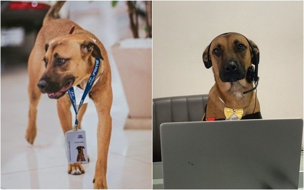 """Chú chó được showroom ô tô nhận vào ngày nào giờ đã thăng chức, lên """"level"""" chuyên viên tư vấn, sở hữu hẳn fanpage trăm nghìn follow"""