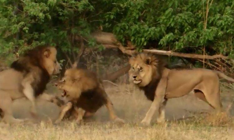 Anh em sư tử hợp lực cướp con cái