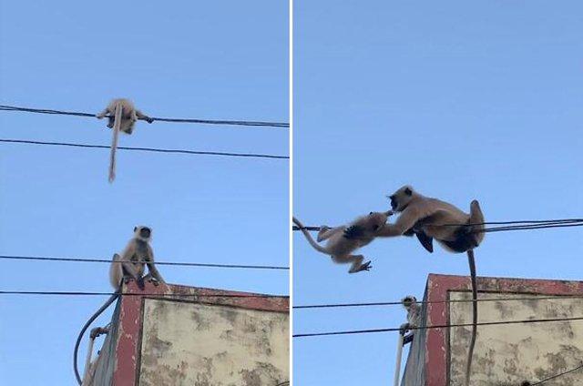Khỉ mẹ cứu con mắc kẹt trên dây điện