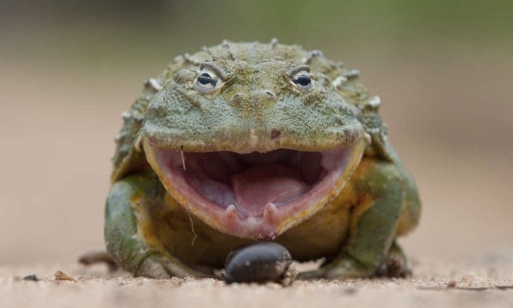 Báo hoa mai rút lui khi đối đầu ếch trâu