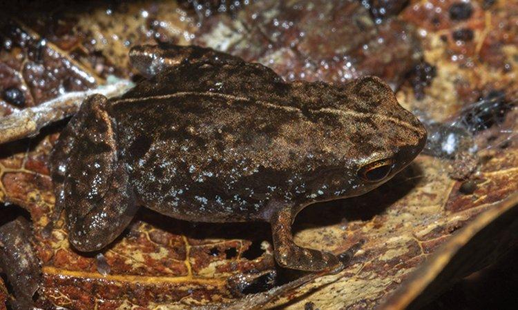 Phát hiện loài ếch mới dài 1 cm