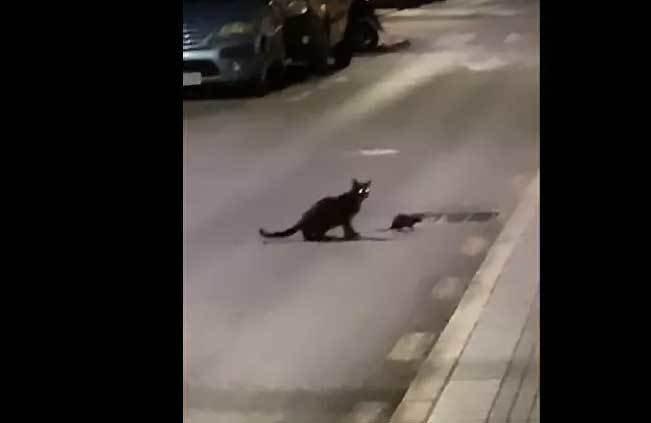 Xem chuột ninja đấu với mèo nhà xảo quyệt